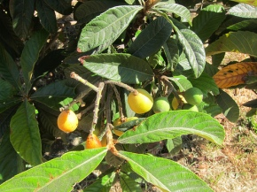 loquat tree at Highland Hall