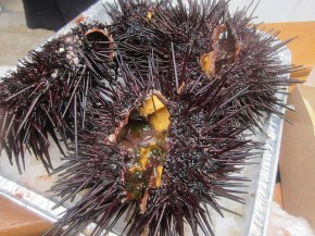sea urchin from Santa Barbara Seafood Market